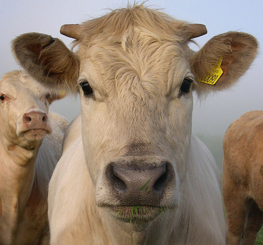 """Cow portrait"" by Pikaluk - Flickr: One Gorgeous Cow. Licensed under CC BY 2.0 via Wikimedia Commons"